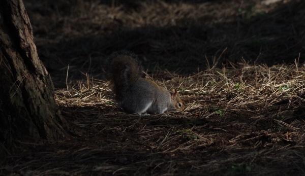 Dappled Squirrel by Kako
