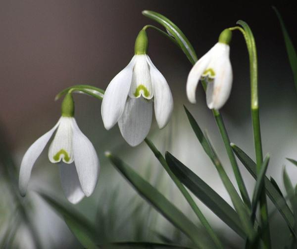Three Snowdrops by viscostatic