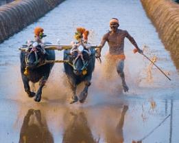Kambala, A traditional Buffalo Race