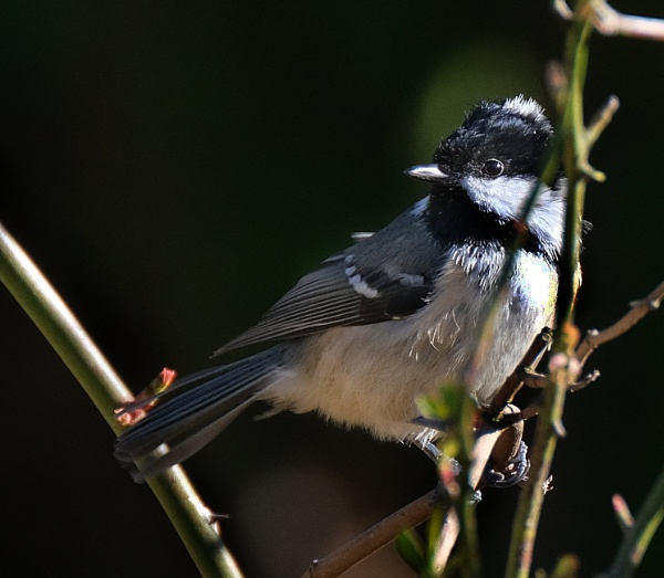 Coal Tit by paulbroad