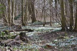 Snowdrop forest