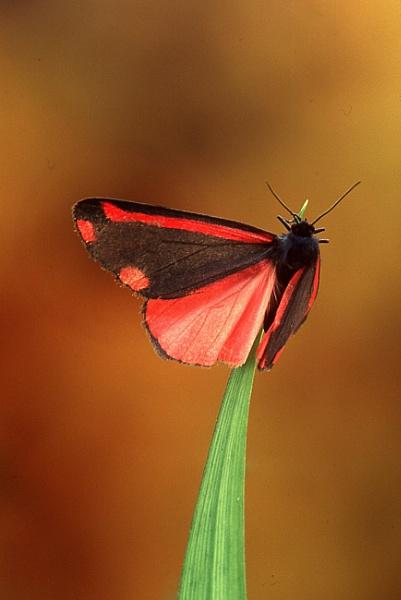 Cinnabar moth by TonyDy