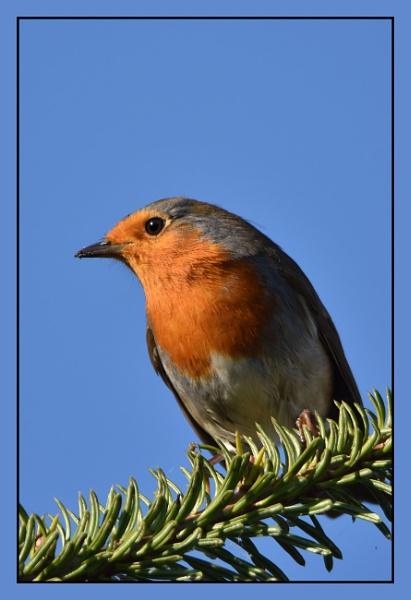 robin this morning