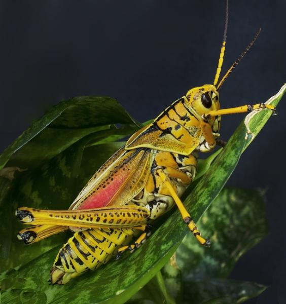 Southern Lubber Grasshopper by jbsaladino