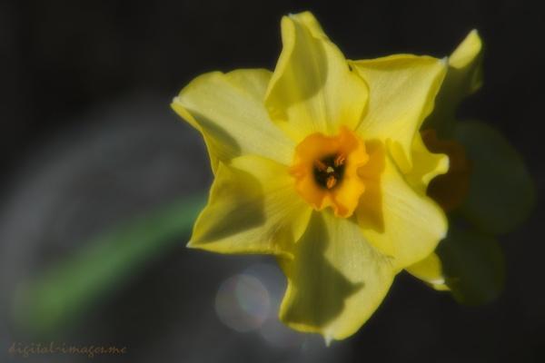 Daffodil by Alan_Baseley