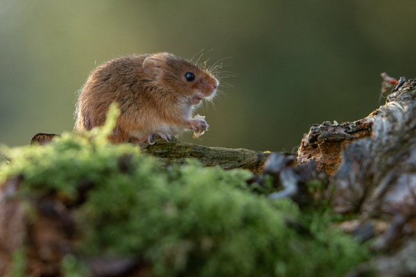 Harvest Mouse by philhomer