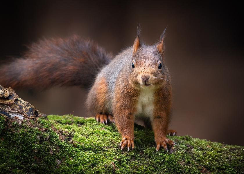Posing Red Squirrel