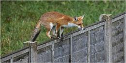 Urban fox entering the garden