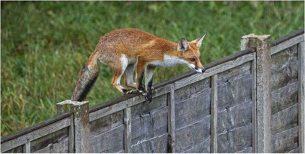 Urban fox entering the garden by hibbz