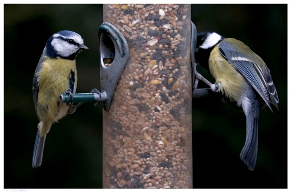 Blue Tit and Great Tit Feeding by TT999