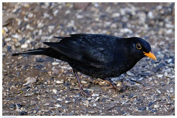 Blackbird by TT999