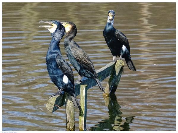 Cormorants Resting by TT999