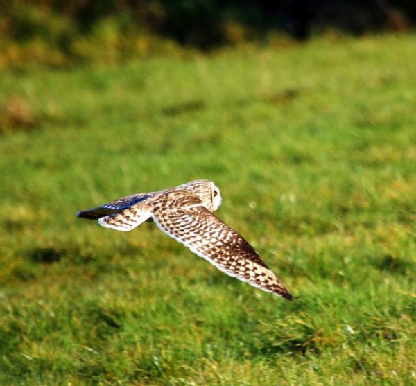 Short eared owl in Somerset by Lencollard