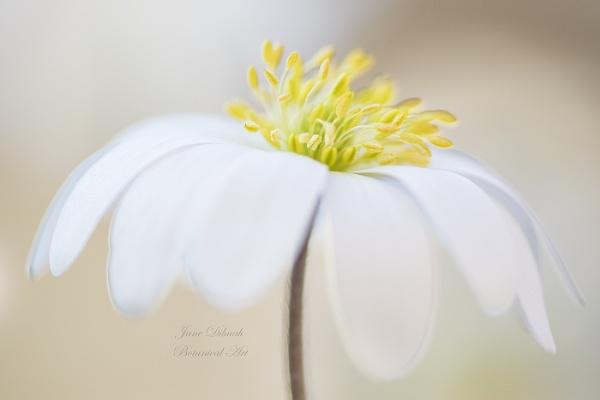 Anemone blanda by janedibnah
