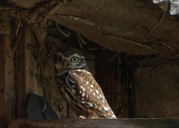 Little owl ( Athene noctua ) by frogs123