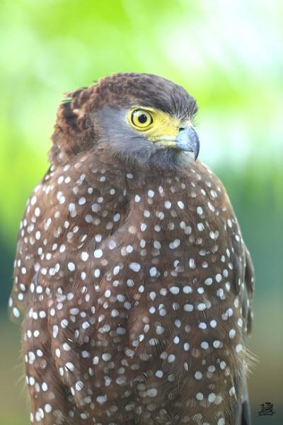 Philippine Serpent Eagle by paul_kinnock