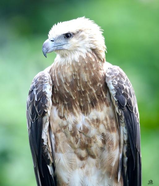 Portrait of a Philippine Eagle by paul_kinnock