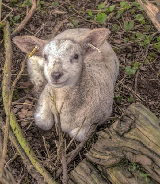 Lamb Chop by BillRookery