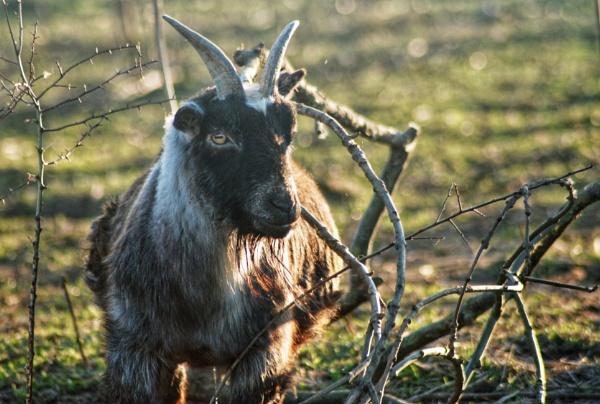 Goat by KrazyKA