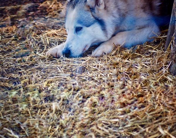 Husky by KrazyKA