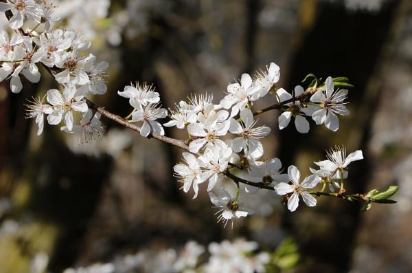 "\""February Blossom\"". by adrianedwa"