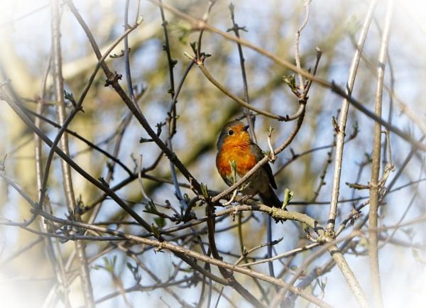 "\""Spring Robin\"". by adrianedwa"
