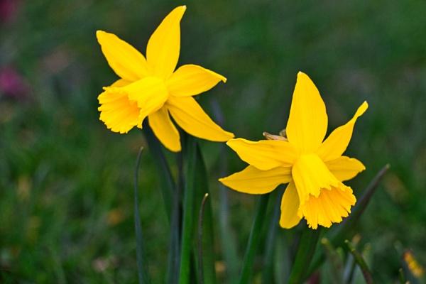 Daffodils by Sambomma