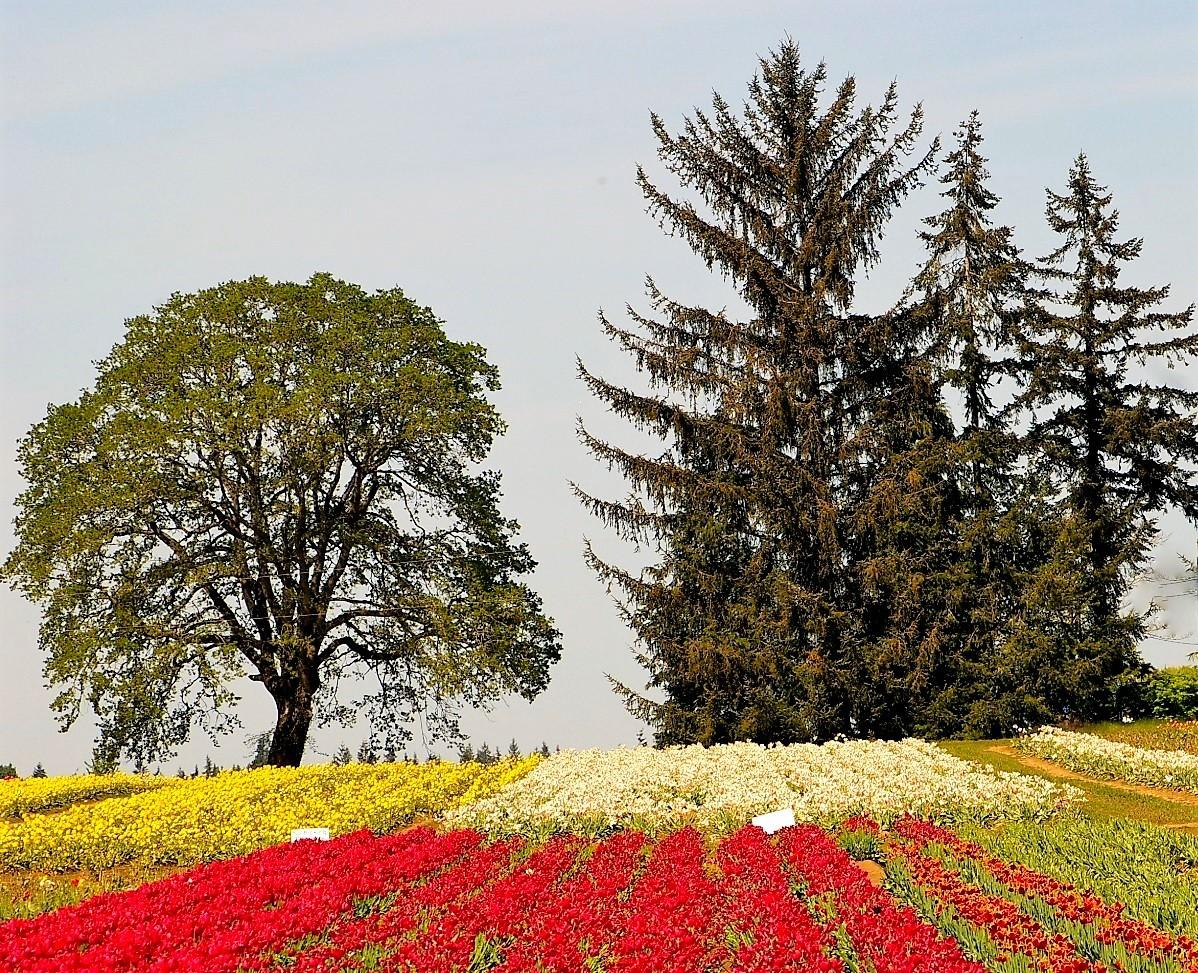 Oregon Tulip Festival.