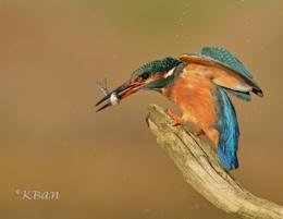 Female Fisher