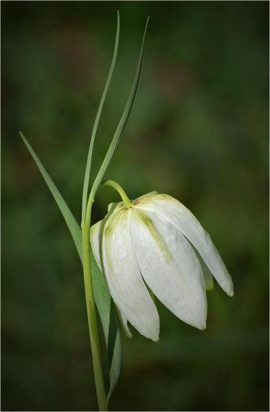 White Fritillary by MalcolmM