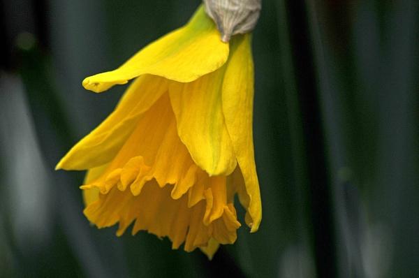 Daffodil by viscostatic