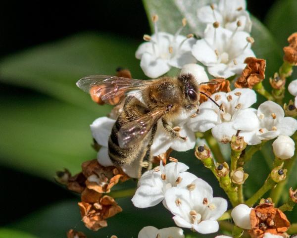Honey bee by oldgreyheron