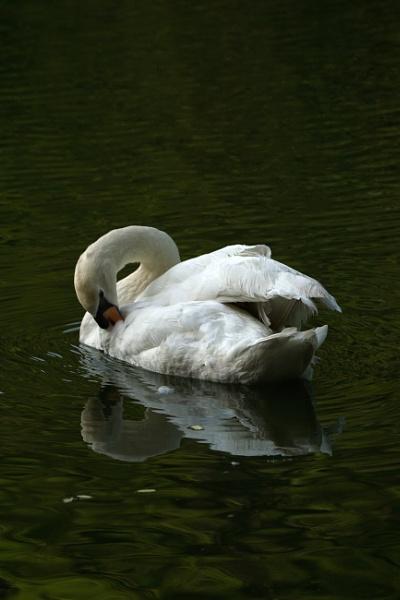 Preening Swan by Silverzone