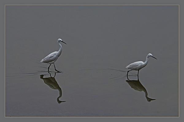 Cattle Egrets by prabhusinha