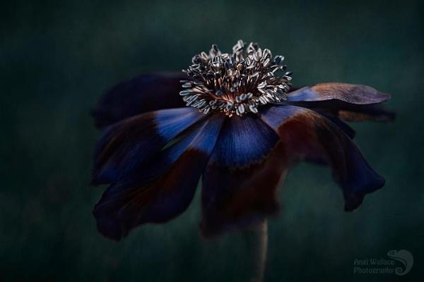 Moody anemone by Angi_Wallace