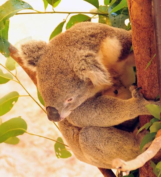 Koala by peterthowe