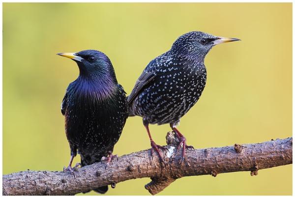 Starlings. by NigelKiteley