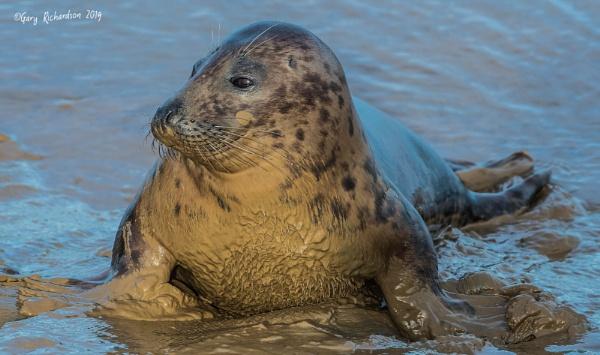 grey seal by djgaryrichardson