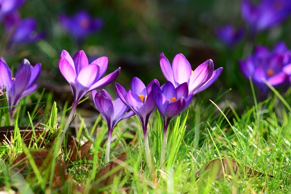 Crocus by piperpics