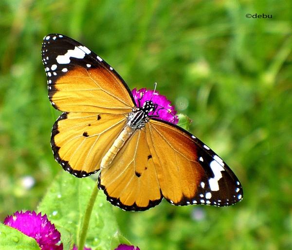 Monarch butterfly. by debu