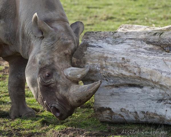Black Rhinoceros by Alan_Baseley