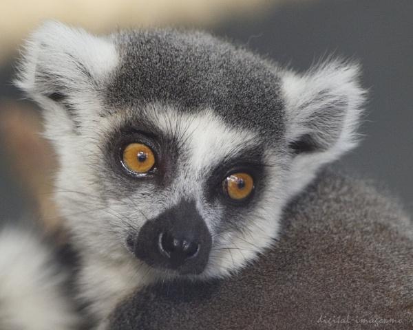 Ring-tailed Lemur by Alan_Baseley