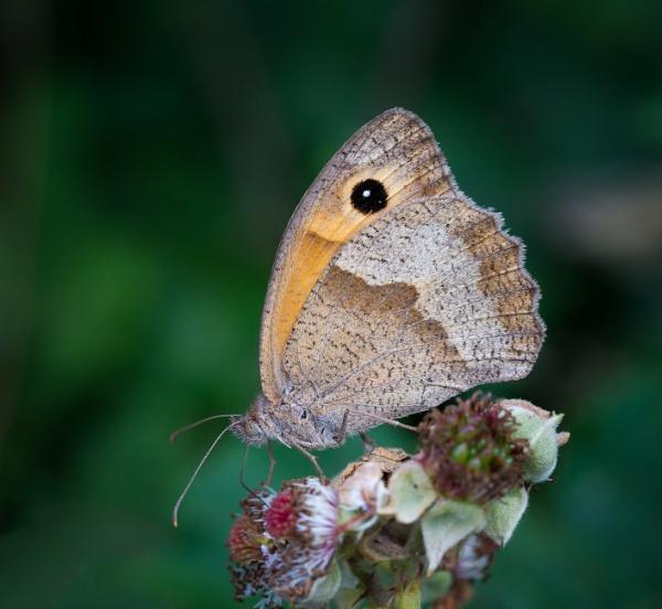 Meadow Brown (Maniola jurtina) by jasonrwl