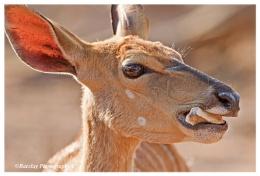 Nyala doe chewing on a bone