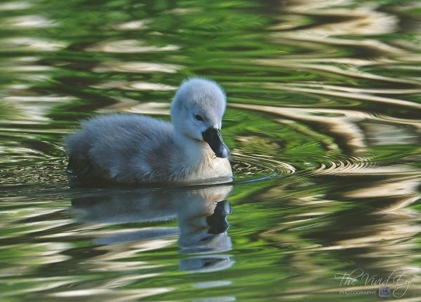 The Little Swan by MartinWait