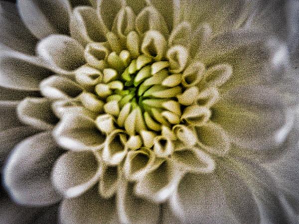 FLOWER . by kojack