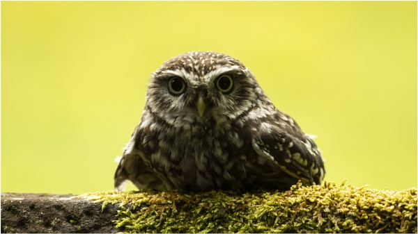 Little Owl by wanny