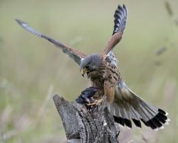 Male Kestrel Making Kill