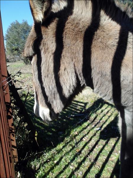 Zebra? Donkey? ...Zeonky!! by laura1