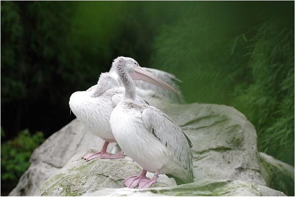 Pelicans by johnriley1uk